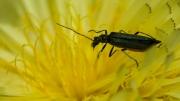 Der Käfer 2