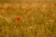 Das goldene Feld