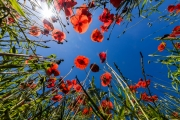 Tuscan poppy