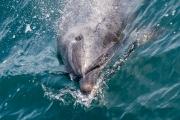Der lächelnde Delfin
